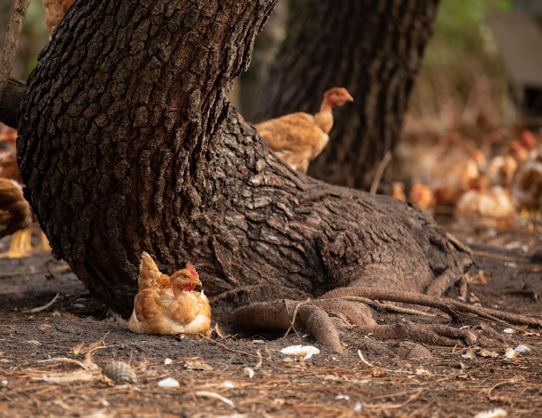 photo de poulets au pied d'un arbre dans les landes par Carole photographe