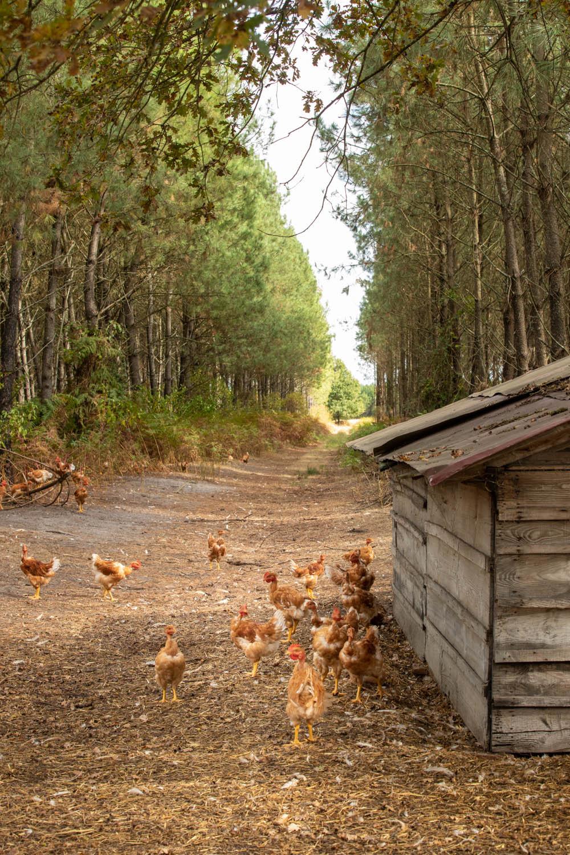 photo d'un chemin dans les landes avec des poulets par Carole photographe