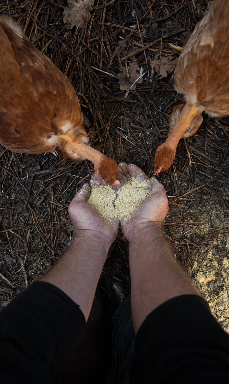 photo de poulet qui mangent dans les mains d'un agriculteur dans les landes par Carole photographe