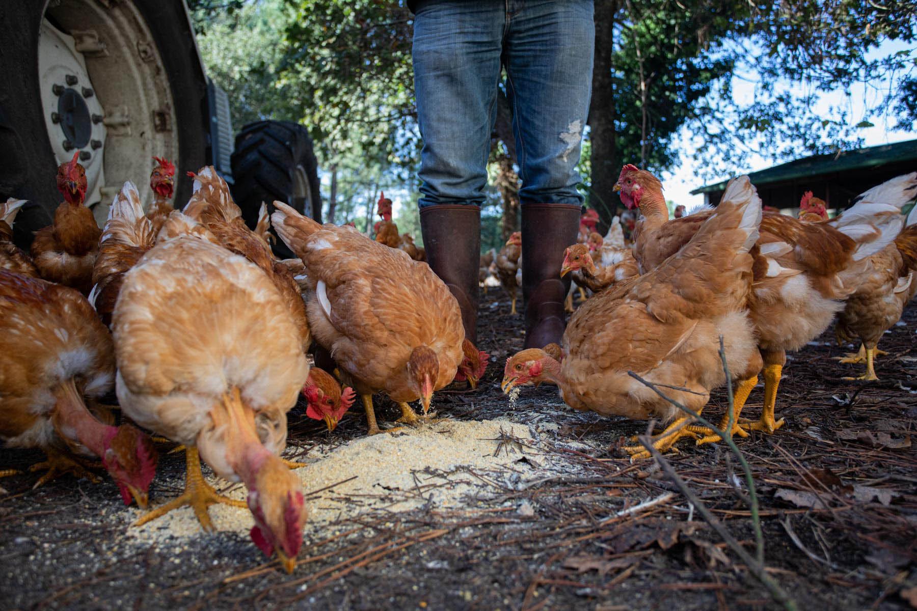 photo de poulet mangeant du grain dans les landes par Carole photographe