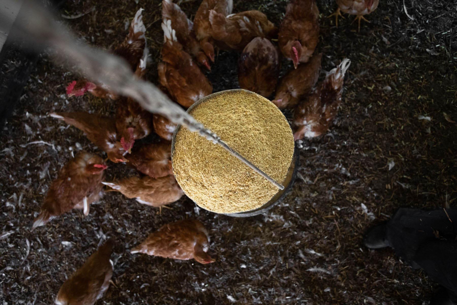 vu par dessus du mangeoire à grain des poulet dans les landes par Carole photographe