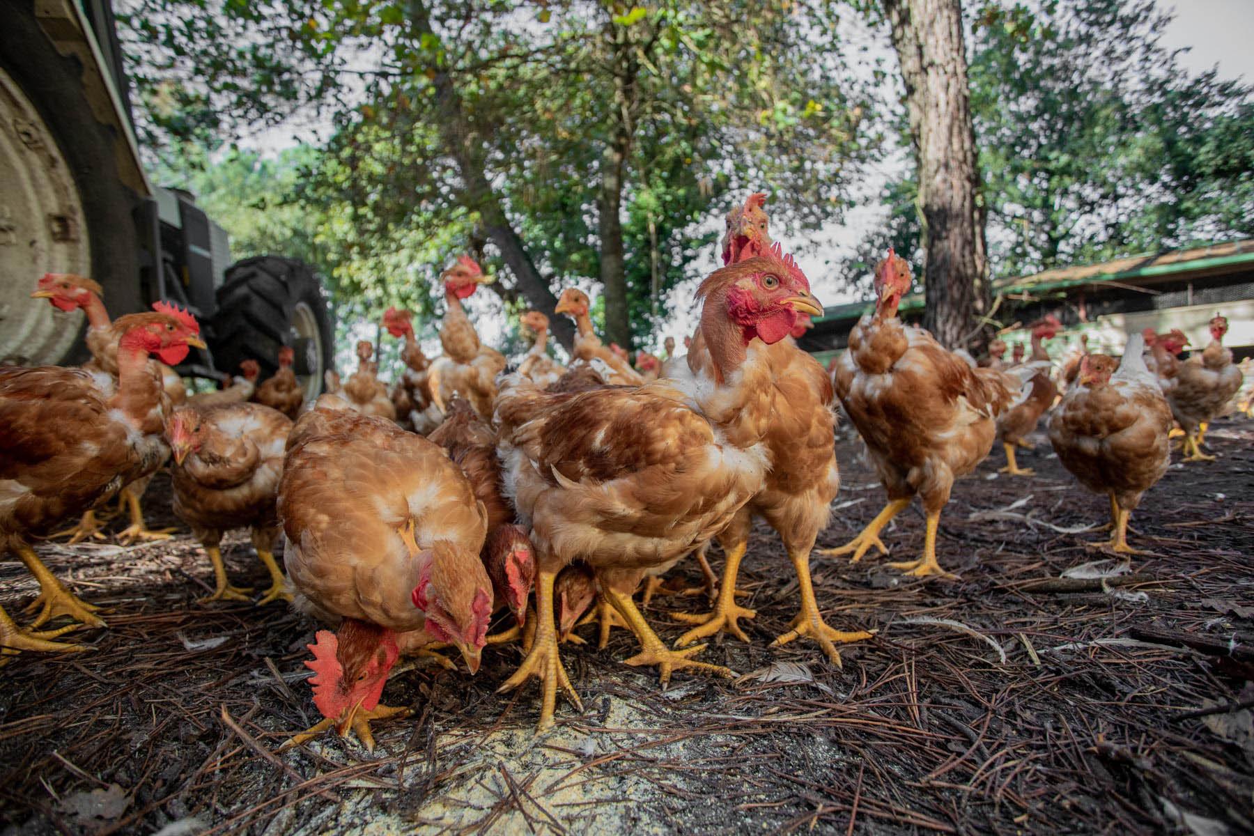 gros plan sur un poulet dans une ferme des landes par Carole photographe