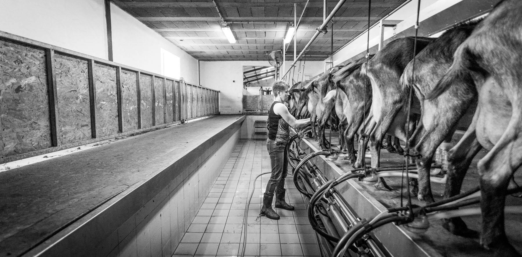 photo de la salle de traite des chèvres de la ferme garralda au pays basque par Carole photographe d'entreprise